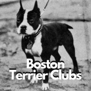 Boston Terrier Clubs. Boston Terrier Clubs in the United states. Boston Terrier Clubs around the world.