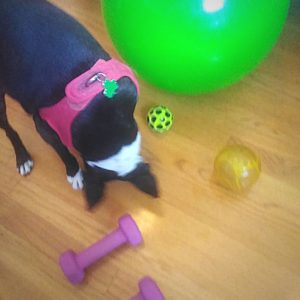boston terrier working out.
