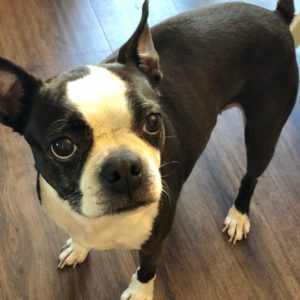 A boston terrier looking into your soul