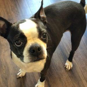 Boston Terrier rescues