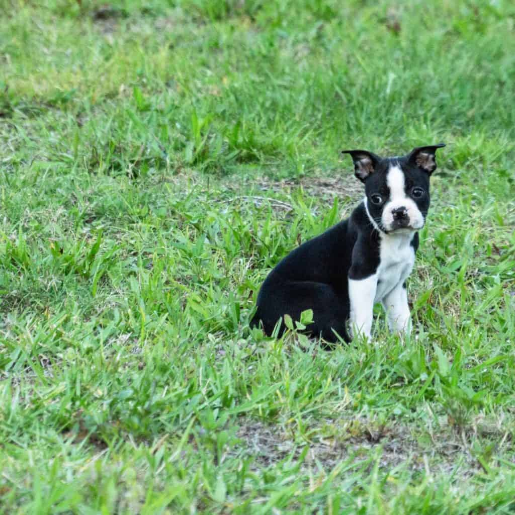 boson terrier puppy scams