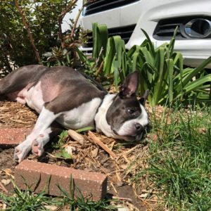 Signs & Symptoms Of Cancer Within Your Boston Terrier