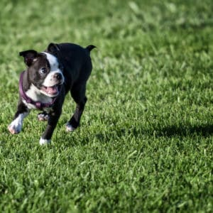 Super Simple Way To Find A Reputable Boston Terrier Breeder
