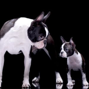 "75+ Awesome Boston Terrier Boy Names Starting With ""L""!"