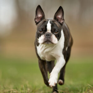 how to find a reputable Boston Terrier breeder.