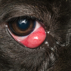 can a boston terrier live with cherry eye