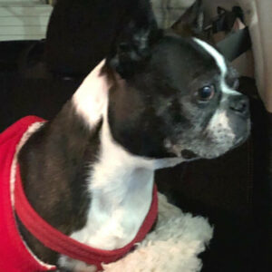 A boston terrier sitting and waiting