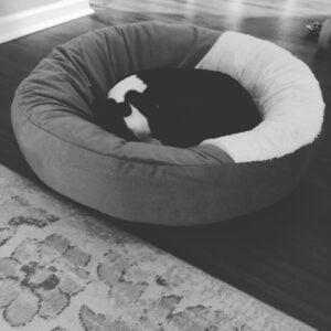 Boston Terrier sleeping in her bed