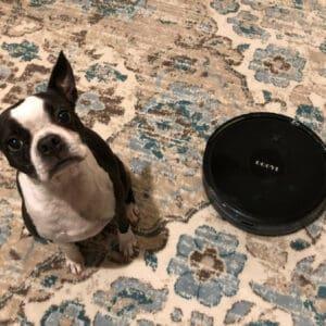 Boston Terrier next to a goovi robot vacuum.