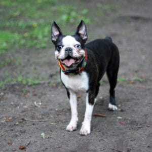 Why Does My Boston Terrier Have One Blue Eye? Health Issues.
