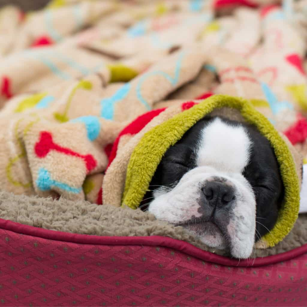 How Much Do Boston Terriers Cost? Chart & Where To Find ...