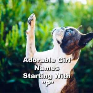 Best 120+ Boston Terrier Girl Names Starting With P