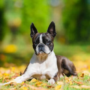 Boston Terrier Girl Names Starting With The Letter T