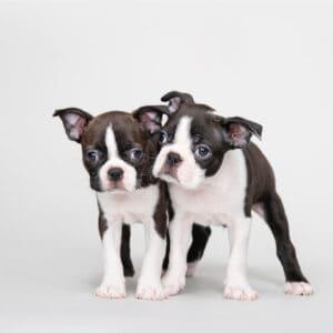 Boston Terrier Dewclaws