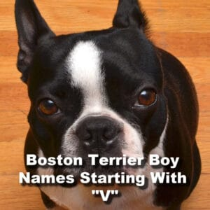 boston terrier boy names starting with the letter V