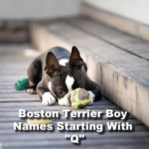 Boston Terrier Boy Q Names