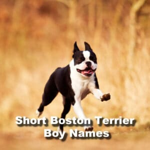 105+ Boston Terrier Boy Names Starting With The Letter N