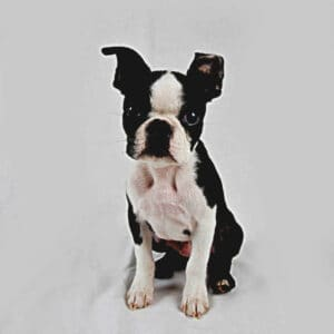130+ Boston Terrier Boy Names That Start With The Letter H