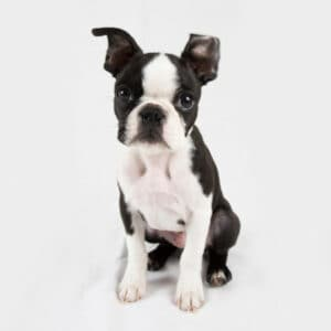 Why Is My Boston Terrier Coughing? 7 Reasons Why & What To Do
