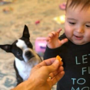 boston terrier begging