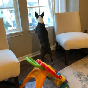 boston terrier hates to see you leave