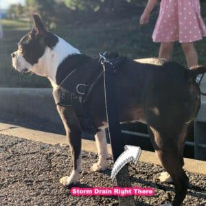 boston terrier hates storm draines