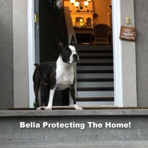 boston terrier protecting the house
