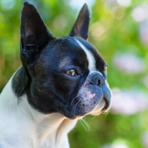 How To Tell If Your Boston Terrier Is in Pain (10 Signs)