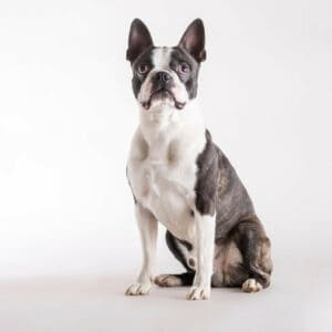 Boston Terriers With Glaucoma - What You Need To Know