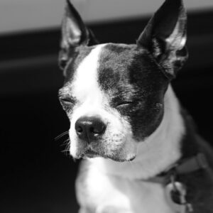 Corneal Ulcers in Boston Terriers - What You Need To Know