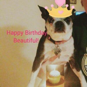 boston terrier birthday photo