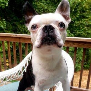 Boston Terrier 10 years old