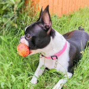 Boston Terrier Rescues In Kentucky - Cost & Adoption Process
