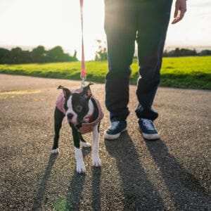 10 Things You Can Do To Help Your Boston Terrier Lose Weight