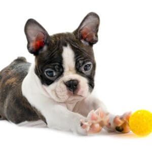 Are Boston Terriers Prone To Deafness? (Statistics)