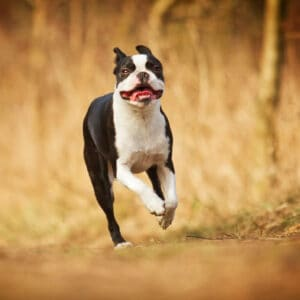 Luxating Patella in Boston Terriers: Complete Guide (Statistics)