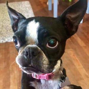 Cupcake Oreo Smushface: Boston Terrier Memorial