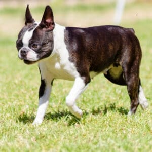 Boston Terrier Rescues In Alabama - Cost & Adoption Process