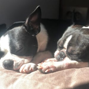 Boston Terrier Rescues In Connecticut - Cost & Adoption Process