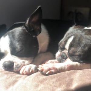 Boston Terrier Rescues In Nebraska - Cost & Adoption Process