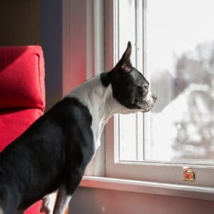 Boston Terrier Rescues In North Carolina - Cost & Adoption Process