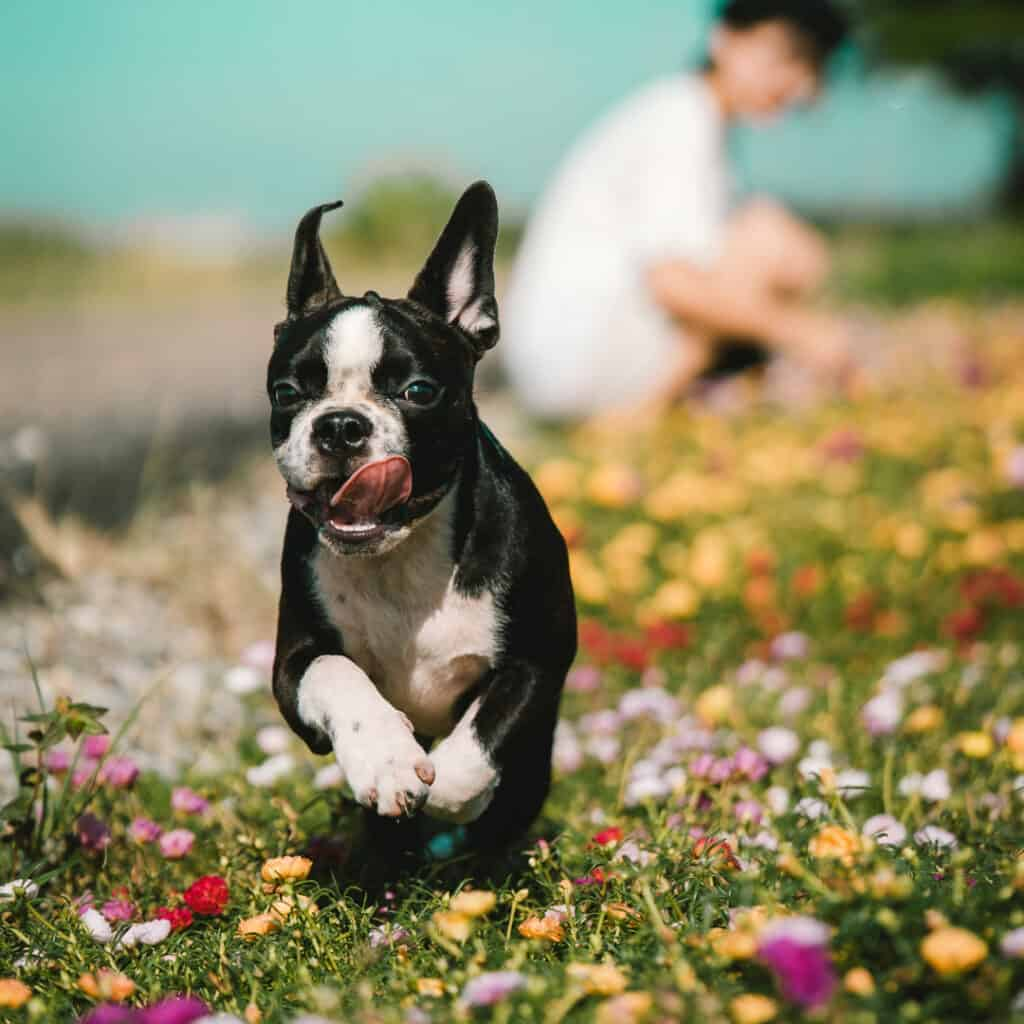 Boston Terrier Rescues In Louisiana - Cost & Adoption Process