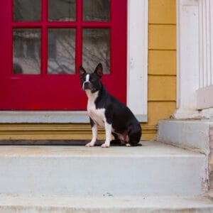 Boston Terrier Rescues In Nevada - Cost & Adoption Process