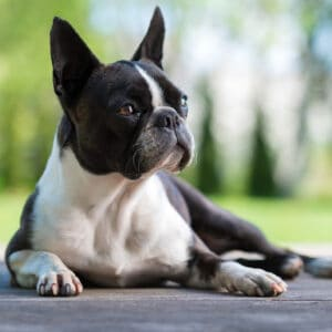 5 Things To Do If Your Boston Terrier Is Too Skinny