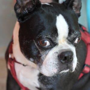 Bobo's Boston Terrier Memorial