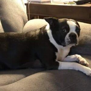 Bella's Boston Terrier Memorial