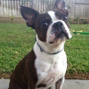 Boston Terrier 14 years old