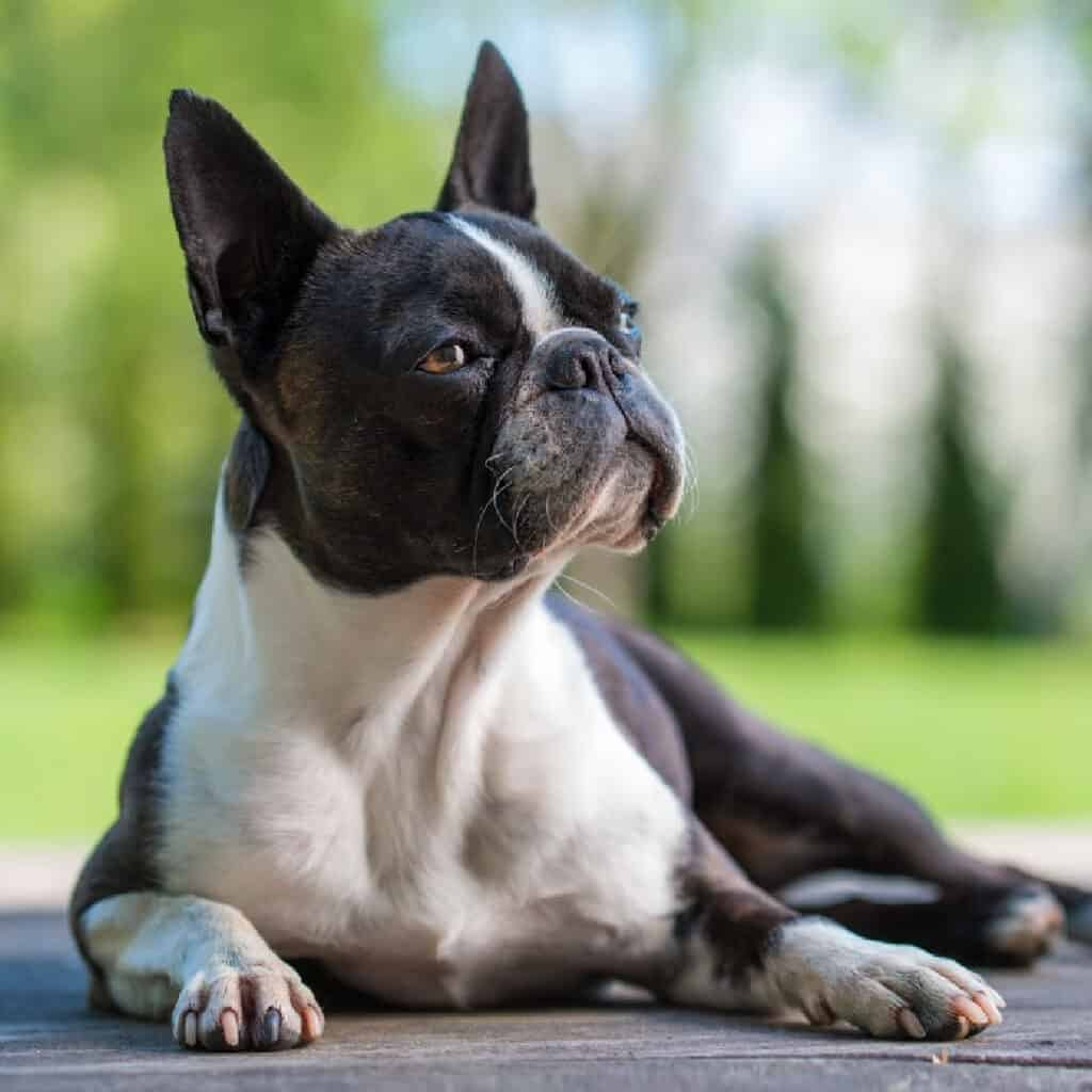 Can Boston Terriers Eat Blueberries? What You Need To Know (2021)