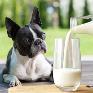 can boston terriers drink milk. Boston Terrier looking at a glass of milk