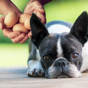Can Boston Terriers Eat Eggs? What You Need To Know!